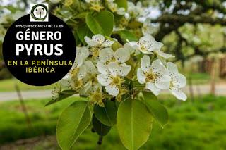 El género Pyrus son arboles o arbustos caducifolios, pueden llegar hasta 10 m. de altura