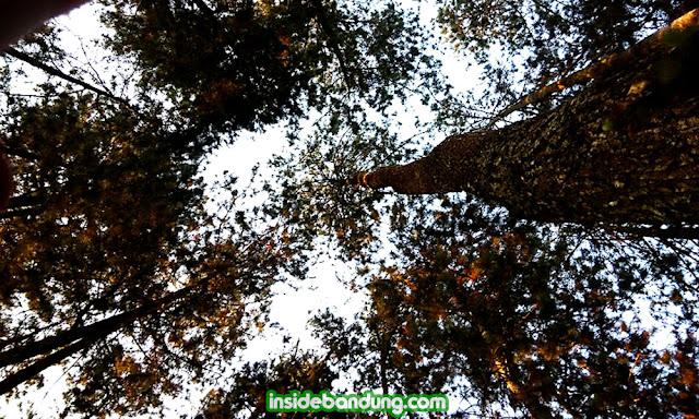 kopi armor, dibawah tajuk pohon pinus di Taman Hutan Rakyat Dago