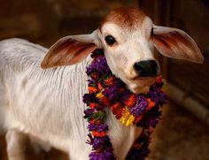 गाय हिन्दुओं के लिए सबसे पवित्र पशु है।