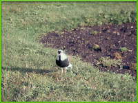 Lapwing Vanellus chilensis pictures