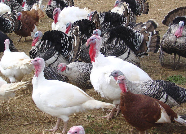 Turkey Feathers Colors Modern Farming Methods