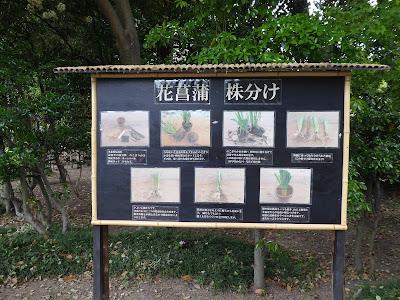 城北菖蒲園の相談所 ハナショウブ 株分け