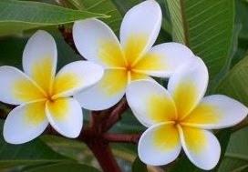 Salah satu jenis bunga yang memiliki nama latin  Tumbuhan Berkhasiat Khasiat Dan Manfaat Bunga Kamboja Bagi Kesehatan