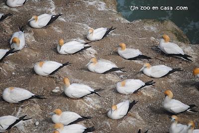 Australasian gannet - Morus serrator