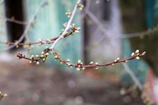 Buds on the plum tree by the Green Building