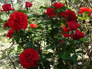 Cara Kaedah Jaga Pokok Bunga Ros Dengan Betul