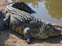Giant Crocodile Animal Pictures