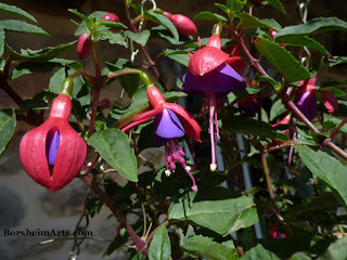 fuchsia plant, flowers, ciondolini, little bells