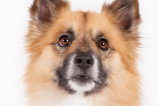 Everything about your Icelandic Sheepdog
