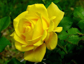 gambar bunga mawar indah 34