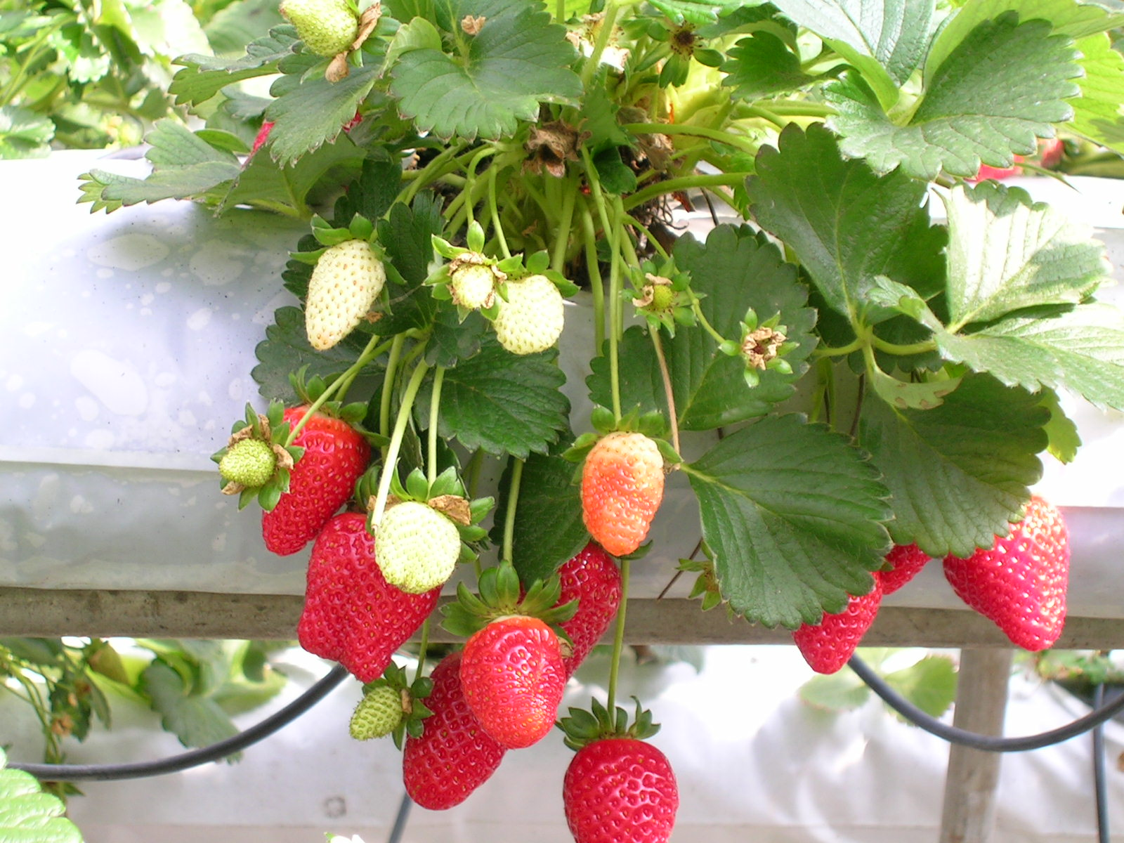 https://i1.wp.com/3.bp.blogspot.com/-QLeWZTNJny0/TdYmxIklvWI/AAAAAAAAAIc/VBOLwEdAy3E/s1600/Strawberries.jpg