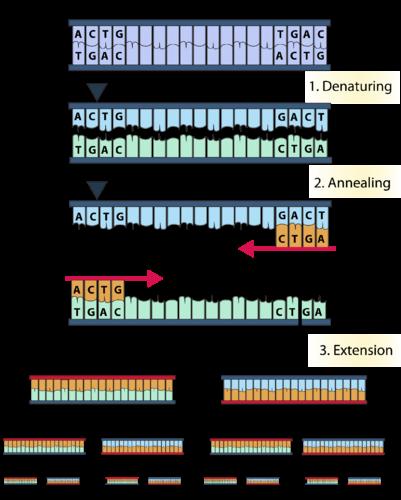 AccuStart II Taq DNA Polymerase