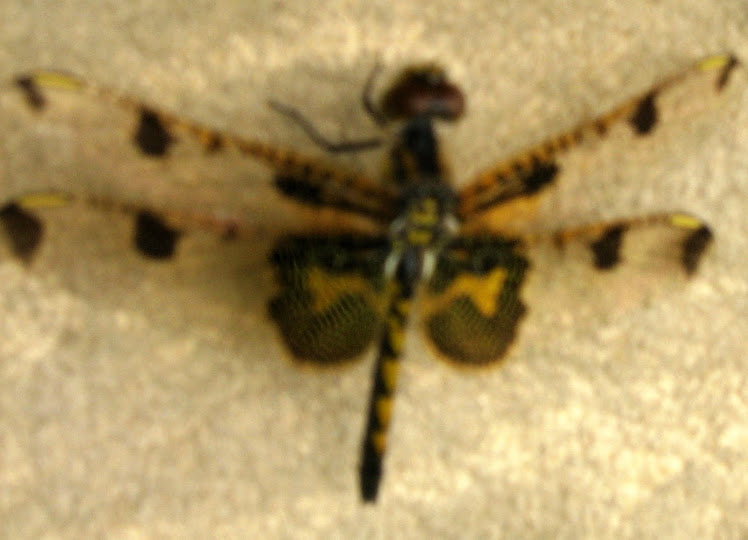 Dragonfly on Buckskin