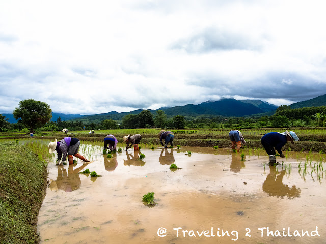 Rice planting in Pua, Nan - North Thailand