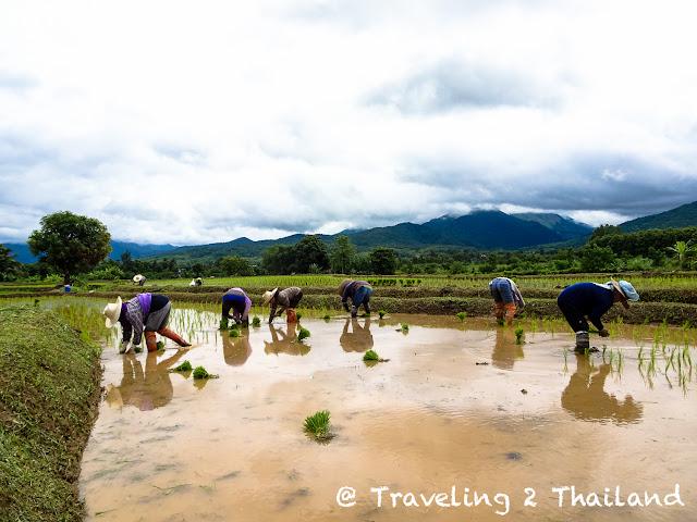 Rice planting in Pua, Nan - North Thailand
