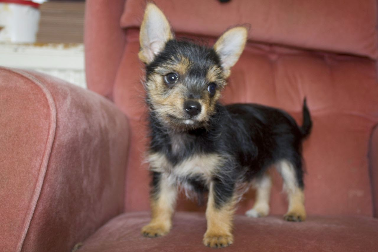 Rules Of The Jungle Chorkie Puppies