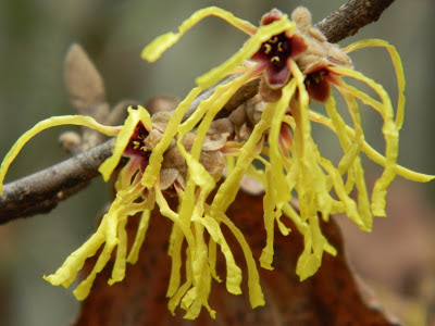 "Hamamelis x intermedia ""Arnold Promise"" witch hazel multiple blooms by garden muses: a Toronto gardening blog"