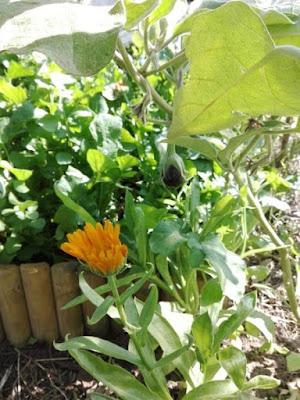 Coltivare fiori nell'orto: calendula con le melanzane.