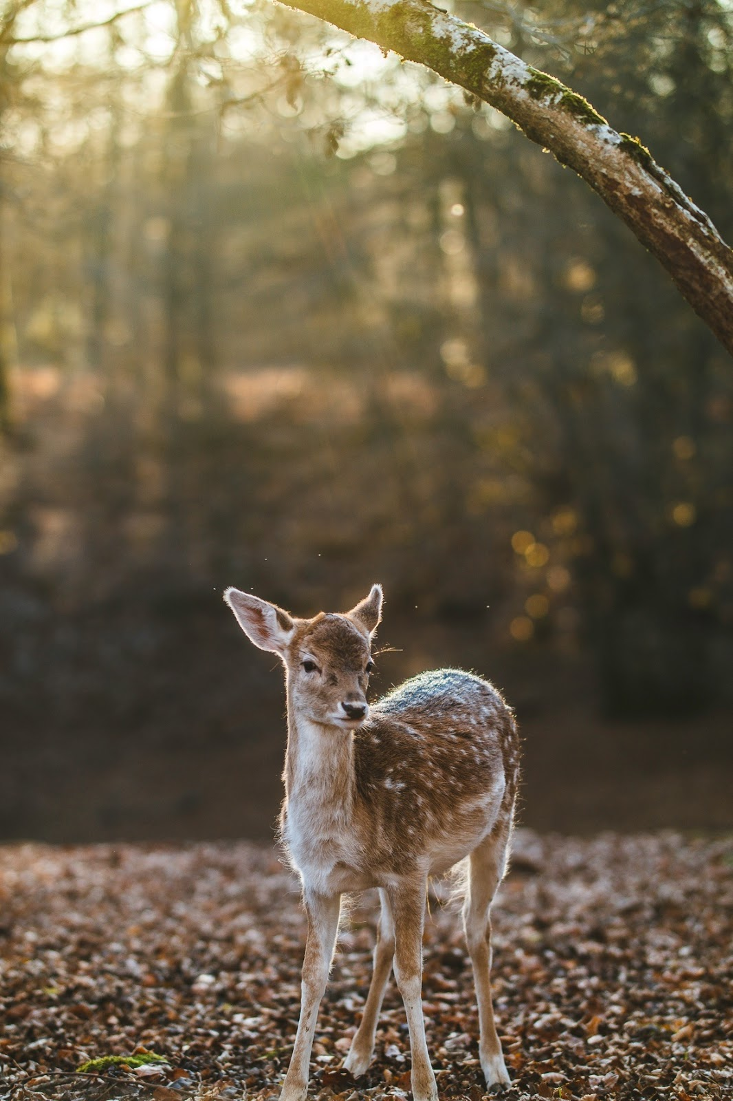 Picture of a white-tailed-deer.