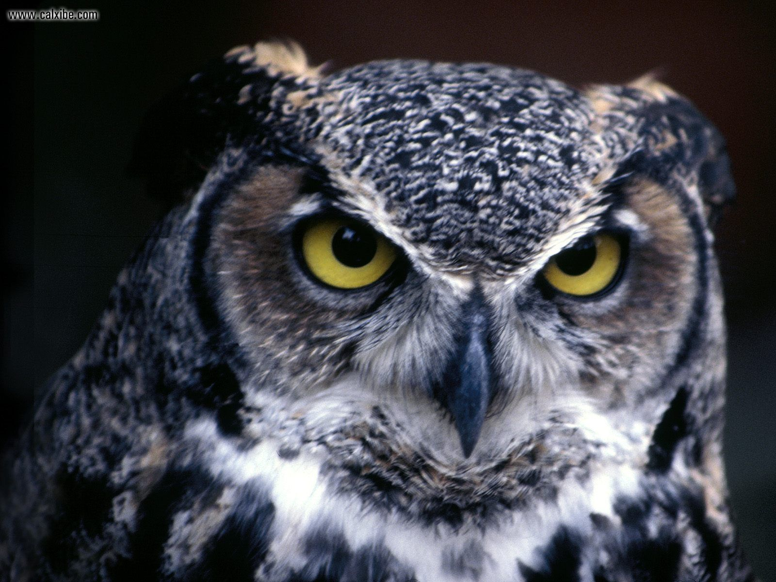 hd great horned owl - photo #33