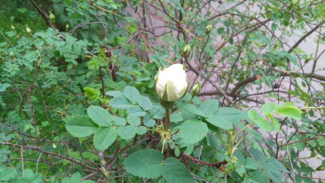 роза шиповника