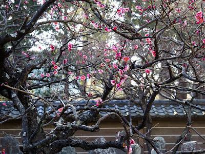 Red ume blossoms: Engaku-ji
