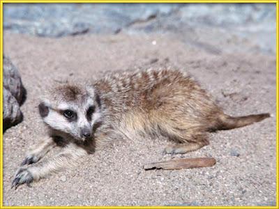 Meerkat [Suricata suricatta] Facts