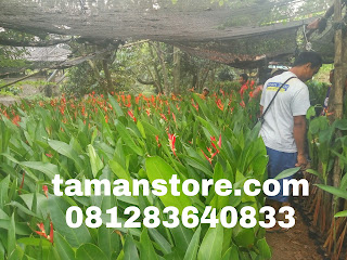 Pohon pisang heliconia murah