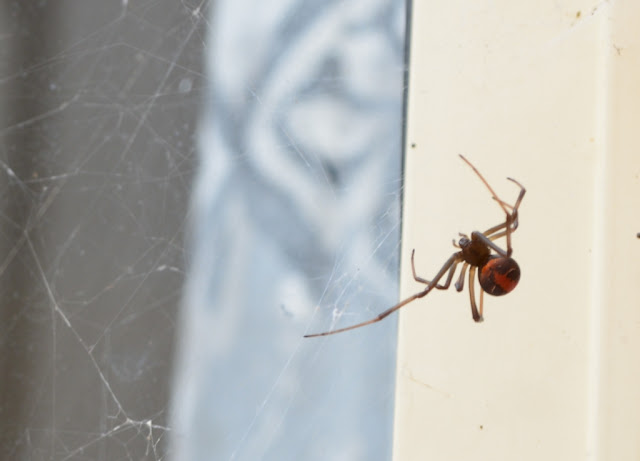 Even closer view of redback spider as it works in its messy web.