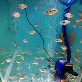 Bibit anak ikan louhan berkualitas import