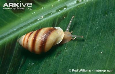 Caracol arborícola polinesio Partula tohiveana