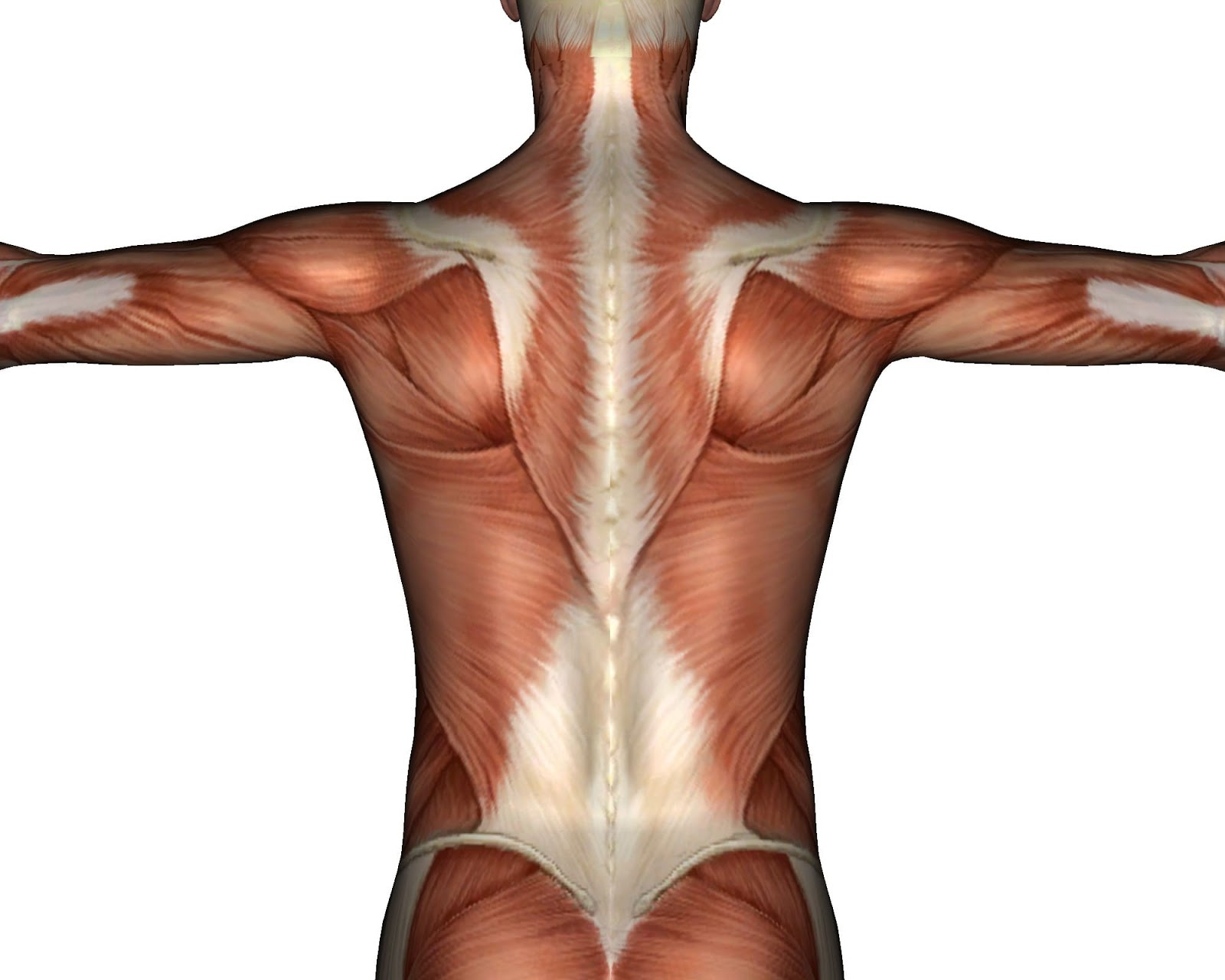 therefore it is not uncommon for pain to occur in the middle or lower back regions stemming from thoracolumbar fascia injury  [ 1600 x 1280 Pixel ]