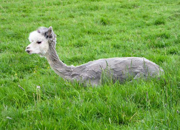 PauMau blogi nelkytplusbloggari nelkytplus kesäkuu pieni lintu haaste haasteblogi kesä alpakka turkin leikkaus villa summer alpaca coat wool june pitkä kaulainen eläin söpö