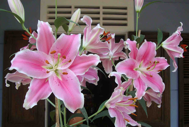 Giá hoa ly Đà Lạt bao nhiêu