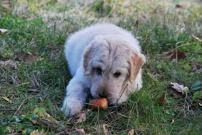 Λαχανικά στην τροφή του σκύλου