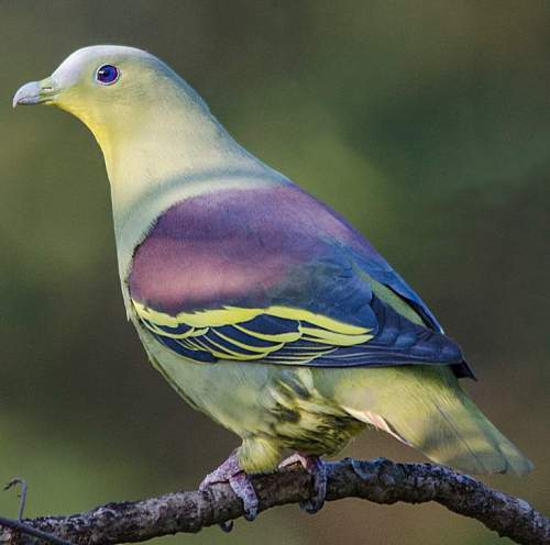 Birds of India - Image of Grey-fronted green pigeon - Treron affinis