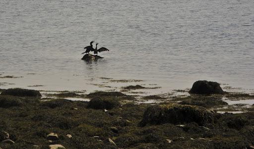 Avian wildlife (Herons) at Charles Island, Milford CT