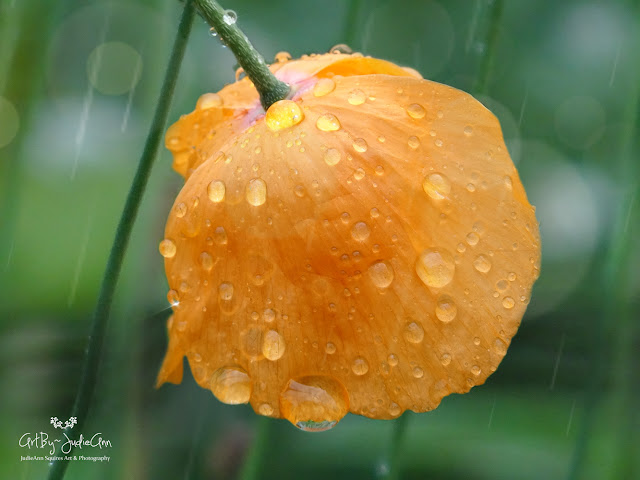 Rain drops on poppy
