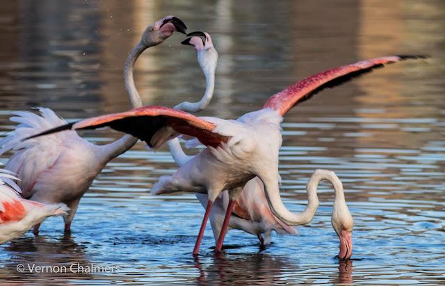 Flamingos Milnerton Lagoon / Woodbridge Island