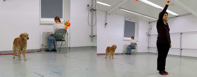 A dog takes part in a study of the effects of training on attention in older dogs