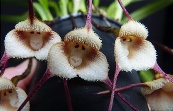 Monkey Faced Orchids