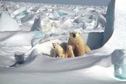 Beruang Kutub : Terancam Perubahan Iklim Global