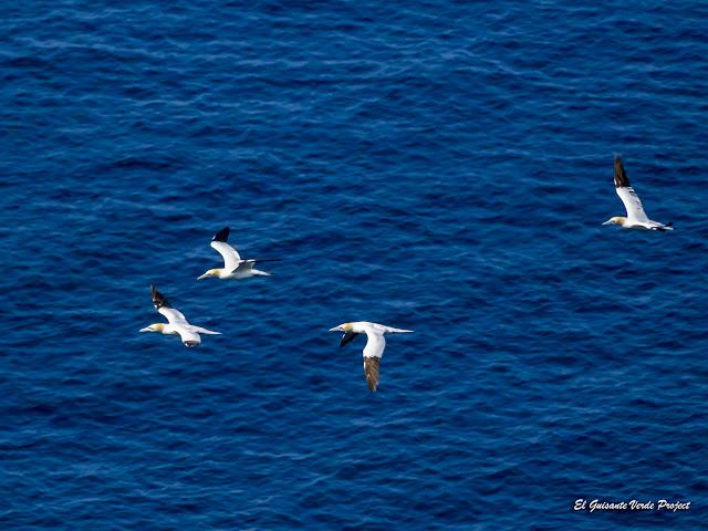 Alcatraces en vuelo, Isla de Runde, Noruega por El Guisante Verde Project