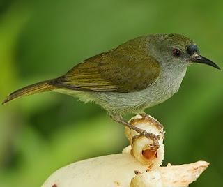 Suara Burung Madu Polos Untuk Mater Burung Pleci