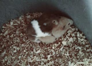 hamster kawin, mengawinkan hamster
