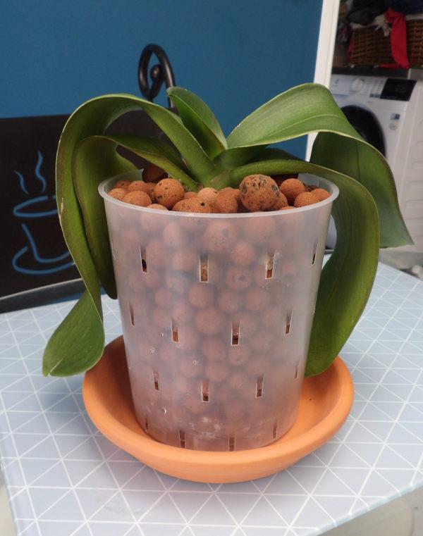 Phalaenopsis  en hydroctulture Phal03_hydro03_21_07_18