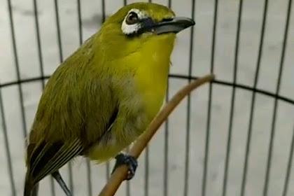 4 Cara Dongkrak Birahi Burung Pleci Supaya Cepat Gacor