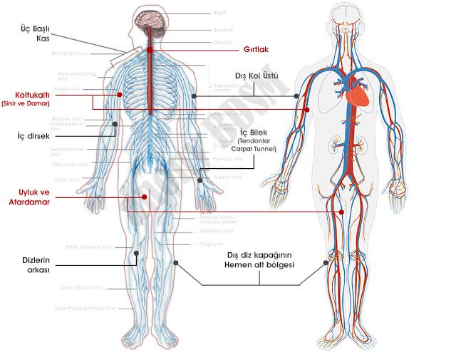 Vücut Sinir ve Damar Haritası
