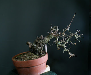 Cornus mas, yamadori, bonsai, dřín, deadwood