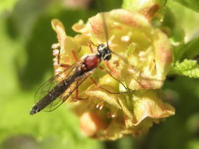flor de grosellero, con insecto.